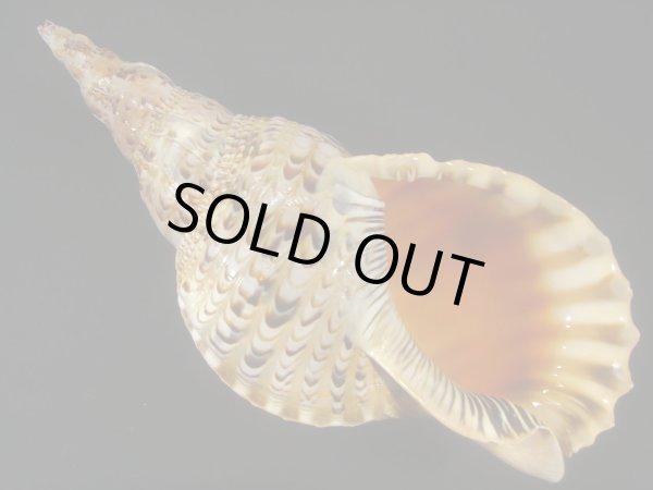 画像1: 法螺貝 34.5cm 約700g (1)
