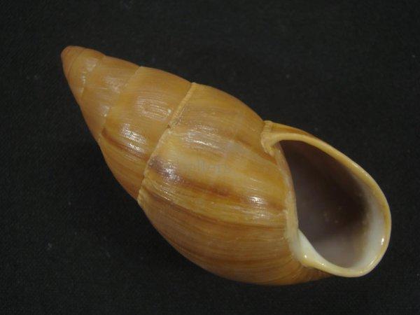 画像1: ホソナガマイマイ(Thaumastus taunaisii) 大 美品 (1)