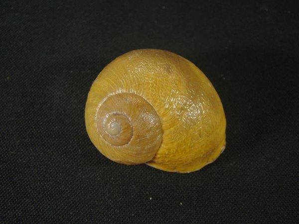 画像1: モロッコ産カタツムリ(Helix aspersa concolor) (1)